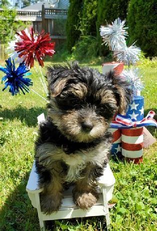 Yorkie Yorkies Yorkiepuppies Puppies Yorkshire Terriers