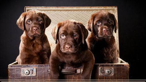 Petition Uk Government Implement A Minimum Age For Puppies To Leave A Breeders Home In The Uk C Labrador Retriever Labrador Dog Labrador Puppy