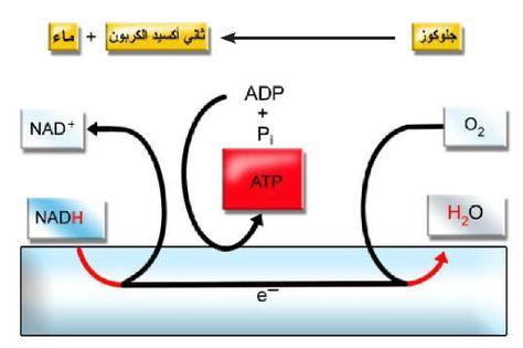 Pin By Chemistry On الحيوية Cellular Metabolism