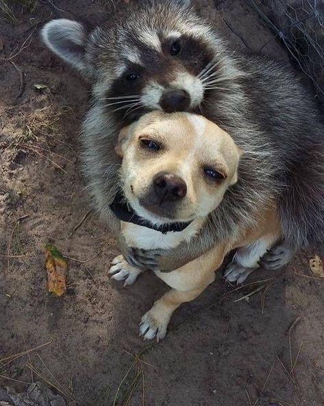 la plus belle photo du jour . Cute Chihuahua, Chihuahua Puppies, Cute Puppies, Cute Dogs, Chihuahuas, Cute Funny Animals, Cute Baby Animals, Animals And Pets, Animal Antics
