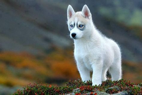 Siberian Husky Please Adopt One So I Can Come Visit Him Oh And