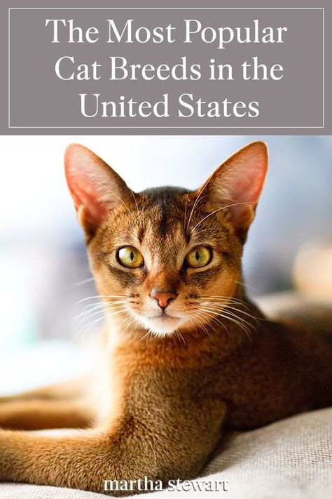 These are the top cat breeds ranking in as the most popular in America that make great family pets and are full of character. From the best hairless, long-haired, and shorthair cats that are perfect for your lifestyle and personality. #marthastewart #lifestyle #petcare #pets