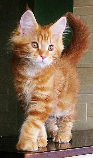 Cute Orange Tabby Kitten Showing The Cat Walk Strut Cute Cats