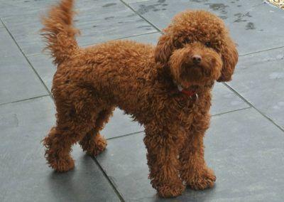 Meet Biscuit Our Dark Red Poodle Stud Dog Red Poodles Stud Dog Poodle Dog