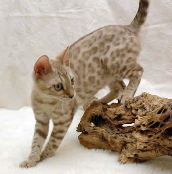 Light brown bengal cat