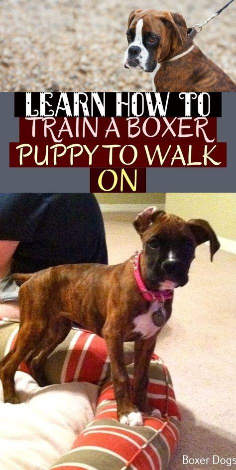 Learn How To Train A Boxer Puppy To Walk On Erfahren Sie Wie