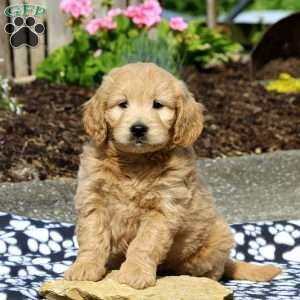 Mini Goldendoodle Puppies For Sale Greenfield Puppies Goldendoodle Puppy Mini Goldendoodle Puppies Goldendoodle Puppy For Sale