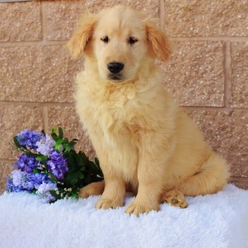 Golden Retriever Puppy For Sale In Gap Pa Adn 70662 On Puppyfinder Com Gender Male Age 15 Weeks O With Images Puppies For Sale Golden Retriever Puppy Golden Retriever
