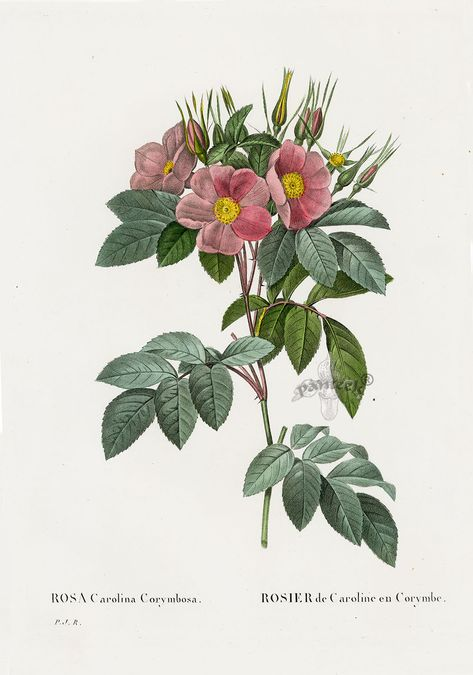REDOUTE Botanical PINK PEONY Mauve Original Art Print #103