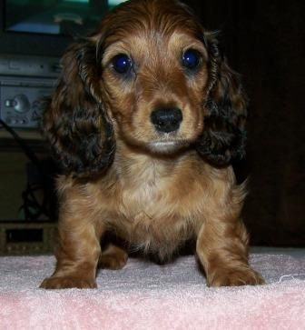 Pin On Dachshund Puppies