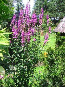 Krwawnica Pospolita Lythrum Salicaria Purple Loosestrife Uprawa Krwawnicy Pospolitej Kwiaty Wieloletnie Byliny Wysokie Kwia Plants Garden Outdoor Living