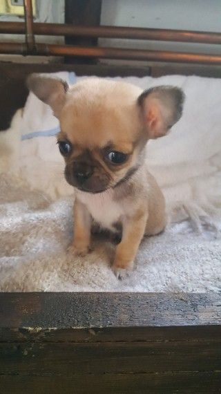 Perfect Pure Bred Chihuahua Puppies Chihuahua Puppies Puppies