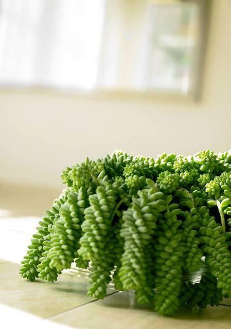 Rozchodnik Morgana Planting Flowers Cactus Plants House Plants