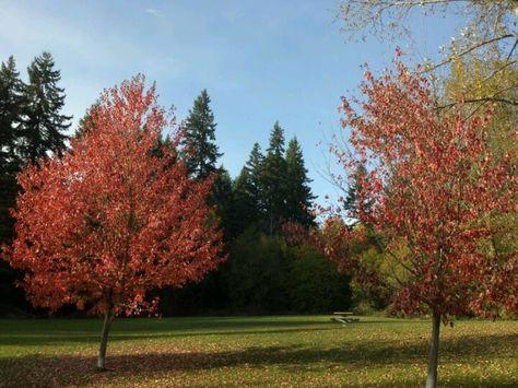 Liquidambar styraciflua (Sweet Gum) Fall colors/Bright at the base of Mt Hotham.