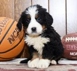 Bernese Mountain Dog Puppies For Sale Bernese Mountain Dog Puppies Bernese Mountain Dog Puppy