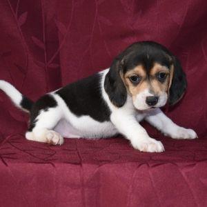 Midge Beagle Puppy 574978 Puppyspot Beagle Puppy Beagle Dogs