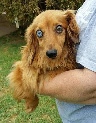 Pin On Dachshund Adoption