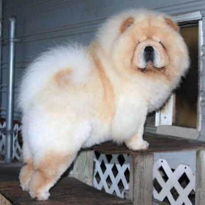 Champion Blonde Chow Chow Chow Chow Puppy Chow Chow Dogs