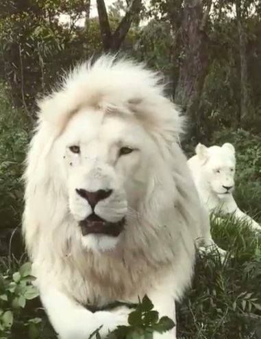 White Lions Animaux Sauvages Animaux Mignons Animaux Albinos