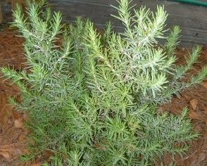 Pin On Rosemary