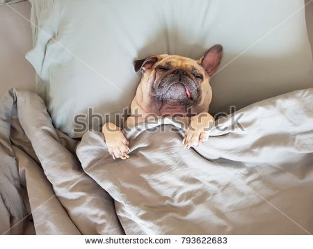 Cute Pug Dog Sleep On The Bed Feel Happy In Relaxing Time