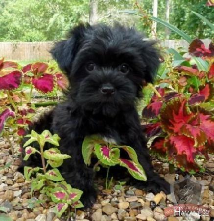 Havanese Intelligent And Funny Havanese Black Dogs Breeds