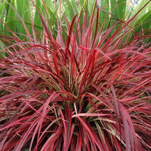 (Fountain Grass) Pennisetum 'Fireworks' is a refreshing new look to an old time favorite ornamental grass! 'Fireworks' is the first variegated purple fountain grass. Each leaf includes various shades of pink, burgundy and purple with a little white thrown in for contrast.