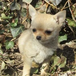 Dusty Chihuahua Puppy For Sale In Seneca Falls Ny Lancaster