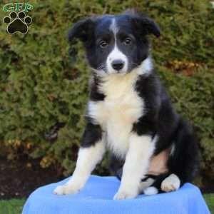 Puppies For Sale Under 500 Price Under 500 Greenfield Puppies In 2020 German Shepherd Mix Puppies Golden Retriever Mix Puppies Puppies For Sale