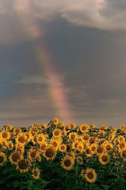 Rainbow over sunflower field. Rainbow over sunflower field.