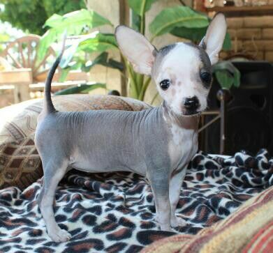 Mexican Hairless Chihuahua Female 11 Weeks For Sale 800 00