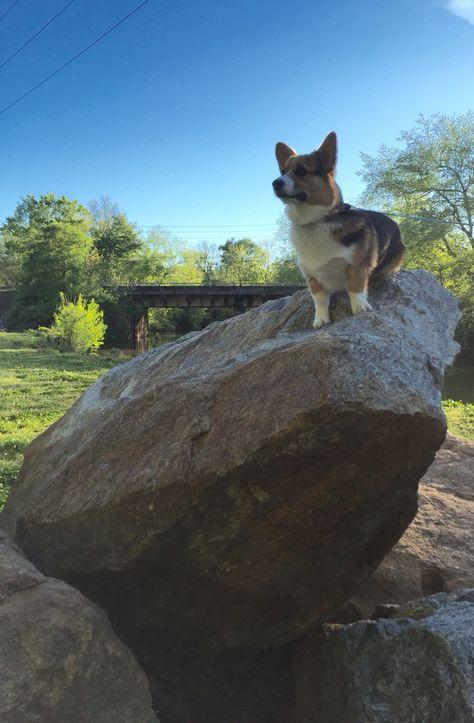 Majestic Corgi Corgi Dog Love Corgi Puppy