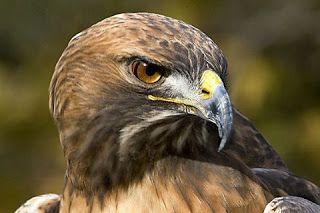 عالم الحيوان اجمل اشكال وانواع النسور فى العالماجمل صور نسور النسر Eagleأكبر أنواع النسور في العالم صور نسر اجمل صور نسور خيال النسر Ea Animals Owl Eagle