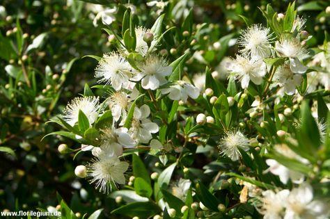 Kleines Garten-Immergrün https\/\/wwwterra-pflanzenhandelde - gartenpflanzen winterhart immergrun