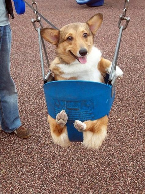 Corgi in a swing! Look at those floofy pants! haha