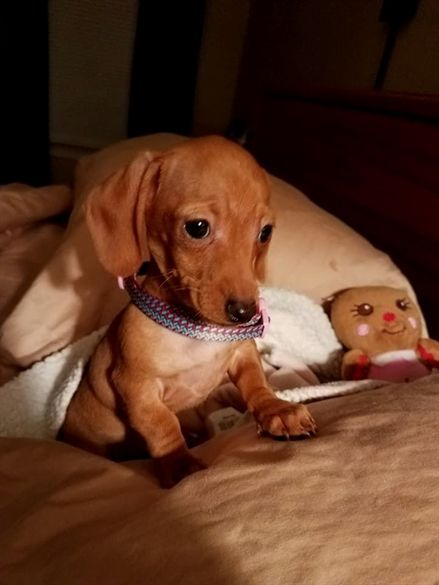Dachshund Dog Cuteanimals Dogtraining Cutepuppie Dachshund Dog Cuteanimals Dogtraining Cutepuppies With Images Doxie Puppies Cute Dogs Winnie Dogs