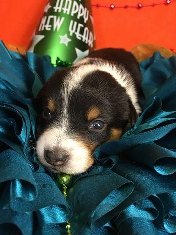 Litter Of 4 Cowboy Corgi Puppies For Sale In Bemidji Mn Adn 58801 On Puppyfinder Com Gender Male Age 2 Weeks Old Cowboy Corgi Corgi Corgi Puppies For Sale