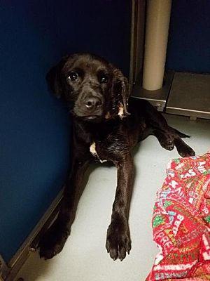 New York Ny Labrador Retriever Meet Egi A Pet For Adoption