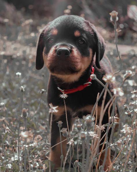 """Aswin Achu™'s Instagram profile post: """"POPPY✨❤️❤️ #puppy #puppylove #puppiesofinstagram #puppies #rottweilersofinstagram #rottweiler #rottweilerpuppy #rottweilerlove"""""""