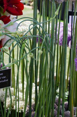Allium Sativum Var Ophioscorodum Serpent Garlic Or Rocambole