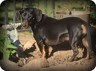 Pin By Uber Wagmore On Adopt A Hound Dachshund Mix