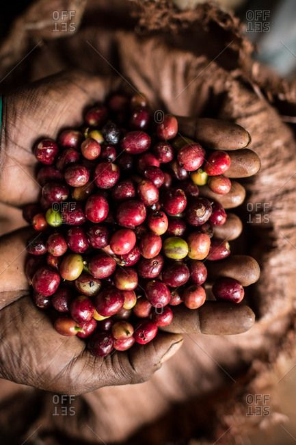 Coffee cherries in Ethiopia | Récolte