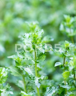 Mint Leaves In Nature Stock Photos Ad Leaves Mint Nature Photos Mint Leaves Stock Photos Leaf Nature