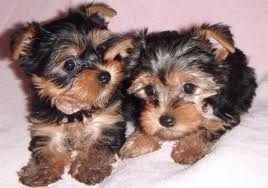 Yorkshire Puppies For Re Homing Monroe La Asnclassifieds Yorkshireterrier Yorkie Puppies For Adoption Free Puppies Teacup Yorkie Puppy