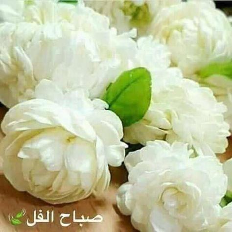 كان لدينا فى البيت الكبير باسكندرية 4 شجرات فل Morning Wish Good Morning Morning Quotes