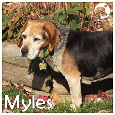 Pictures Of Myles A Beagle For Adoption In Pittsburgh Pa Who