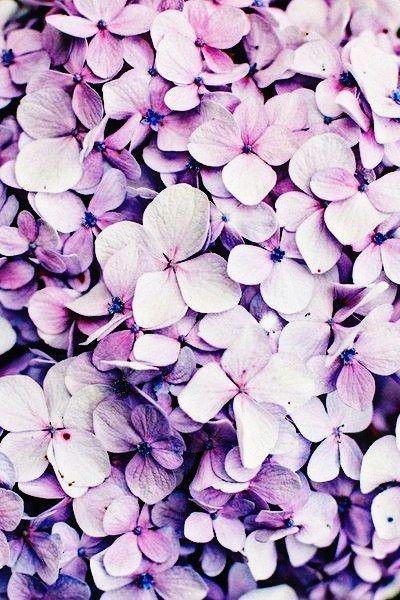 Purple Flowers Hd Wallpapers Hydrangea Wallpaper Flower Backgrounds Flowers Photography