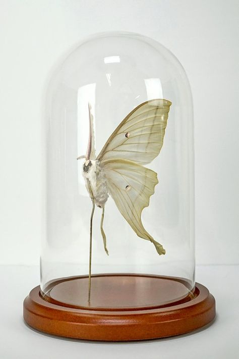 Real Chinese Yellow Swallowtail Butterfly Paperweight Insect Specimen Taxidermy