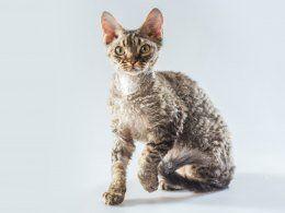 Devon Rex Kittens For Sale Two Girls Sold Sold Cornish Rex Devon Rex Devon Rex Cats