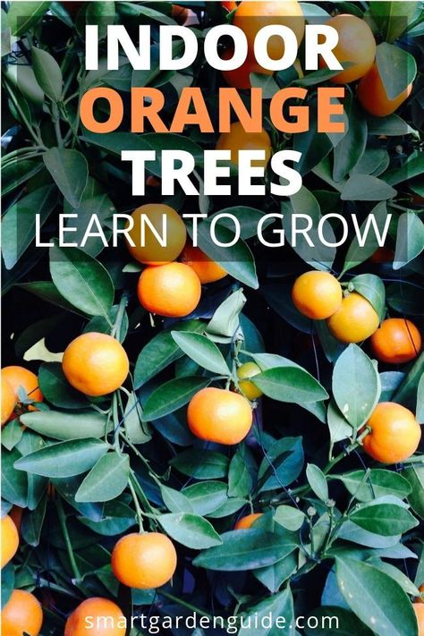 How To Care For An Indoor Orange Tree If You Want To Grow